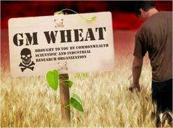 gm-wheat.jpg