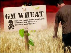 gm-wheat.jpg